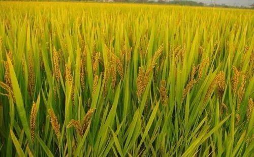 2021年水稻重大病虫害防控技术方案