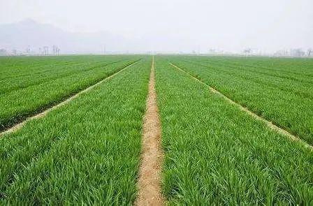 2021年春后小麦重大病虫害防控技术方案