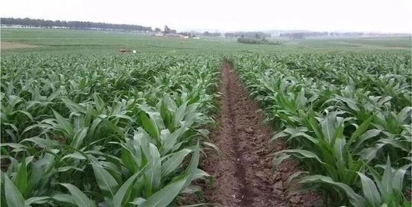 2021年玉米重大病虫防控技术方案