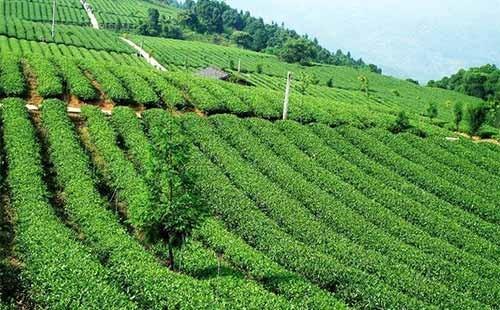 2021年茶树主要病虫害防控技术方案
