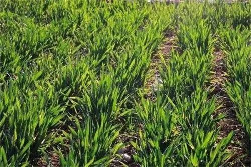 农业农村部部署小麦条锈病防控